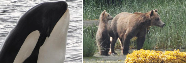 British Columbia - Orcas and Bears